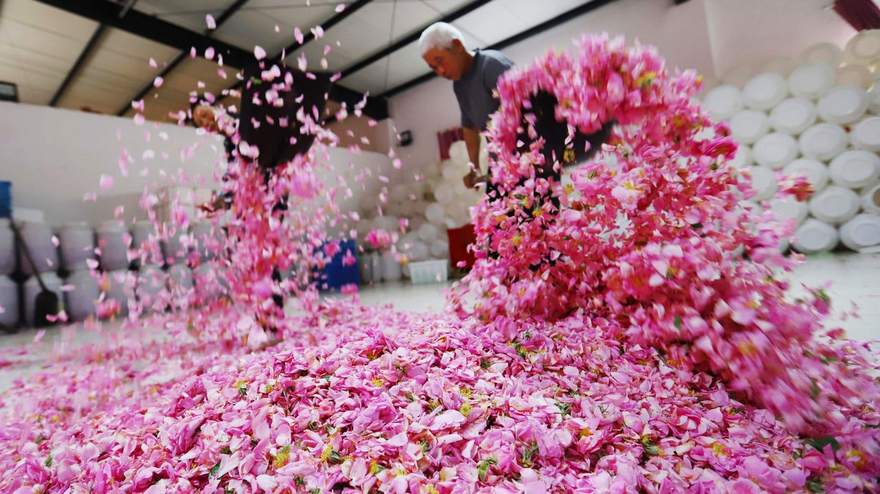 .Agricultores secan pétalos de rosa en Haian, en la provincia china de Jiangsu