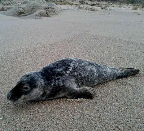 La foca, ayer por la mañana en la zona de Arou.