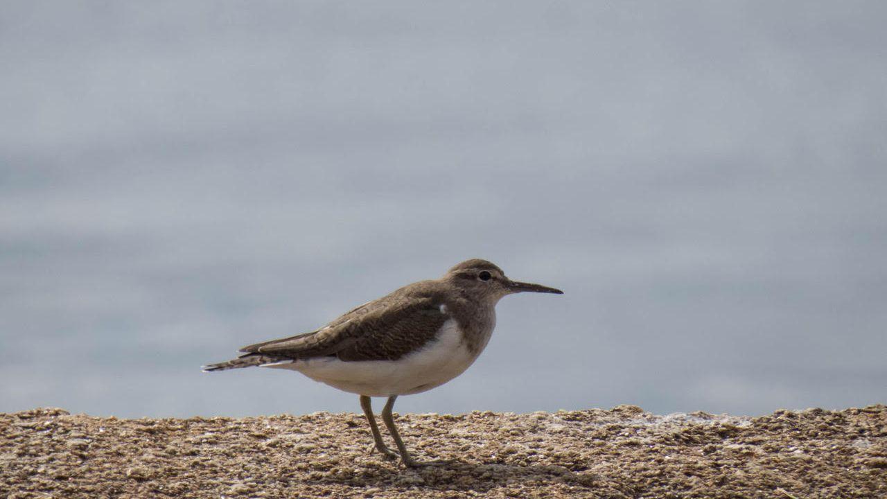 Bilurico das rochas o andarríos chico, un ave que tiene una especial predilección por Ferrol y cría en los ríos