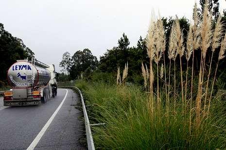 <span lang= es-es >Maleza</span>. Los «plumachos» y otros arbustos invaden las cunetas y, sobre todo, las medianas de la AG-55.