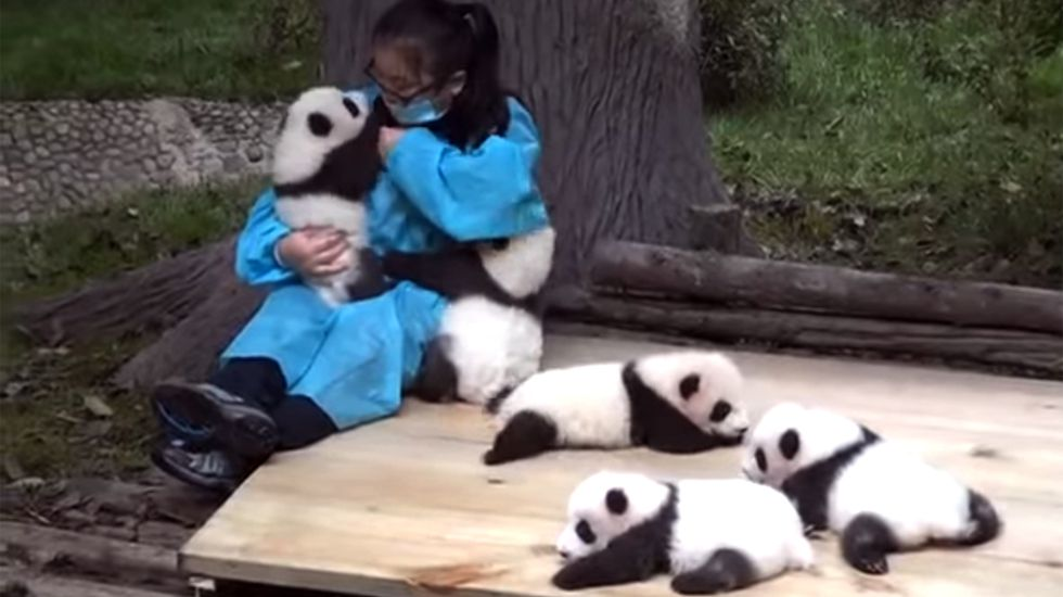 Abrazador de pandas: Un trabajo entrañable y real