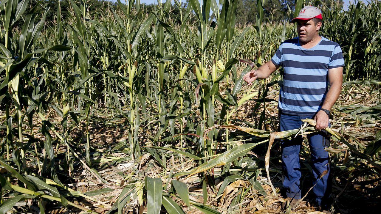 Los jabalíes se comen hectáreas de maizales en Santiago.