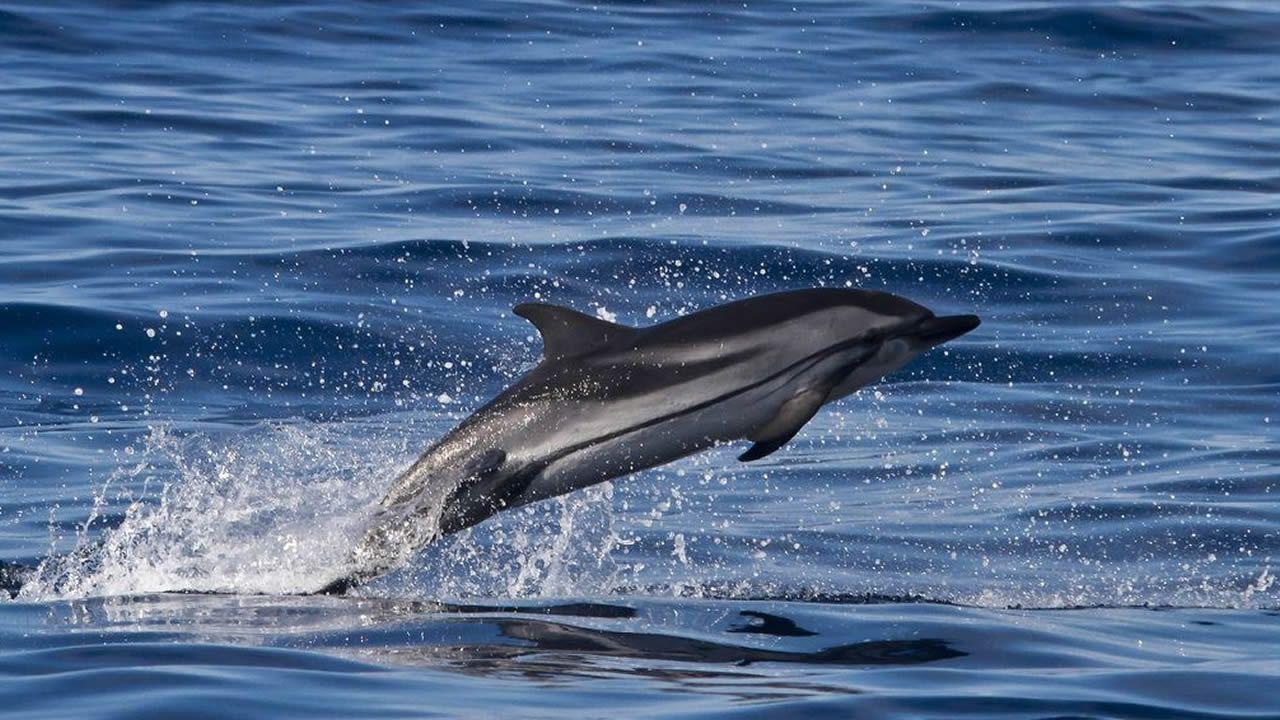 Delfín común y riscado. Hasta 18 ejemplares de golfiño común se encontraron en las playasa este año, mientras que al arenal de Xuño también llego un delfín riscado.