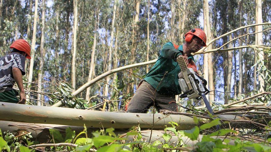 Más eucaliptos,  más   coníferas. Consecuencias de la sed de beneficio$ en la húmeda Galicia. El sector forestal. - Página 3 F07Y5028