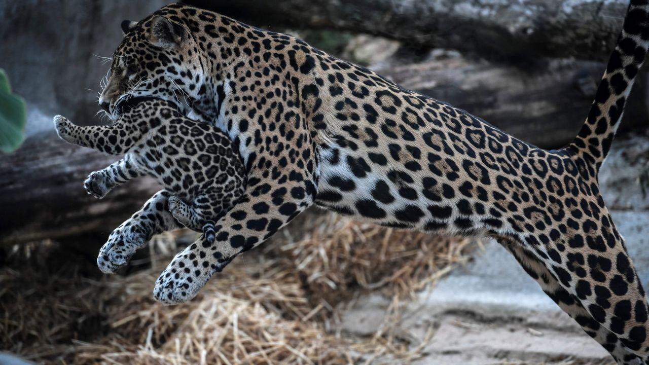 .Una hembra de jaguar protege a su hijo recién nacido en un zoo de París.