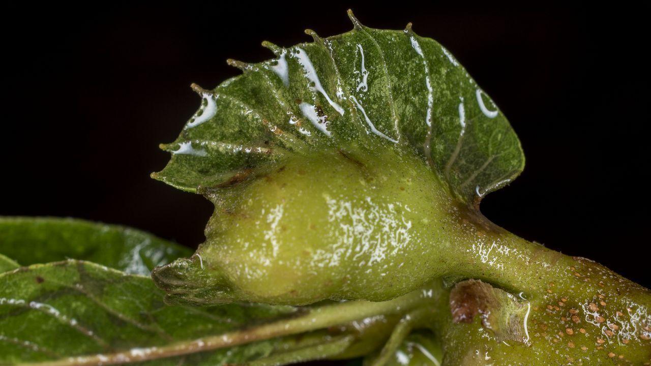 Este proceso hace que el árbol pierda muchas hojas, lo que reduce su capacidad para realizar la fotosíntesis y perjudica la producción de castañas y la calidad de la madera