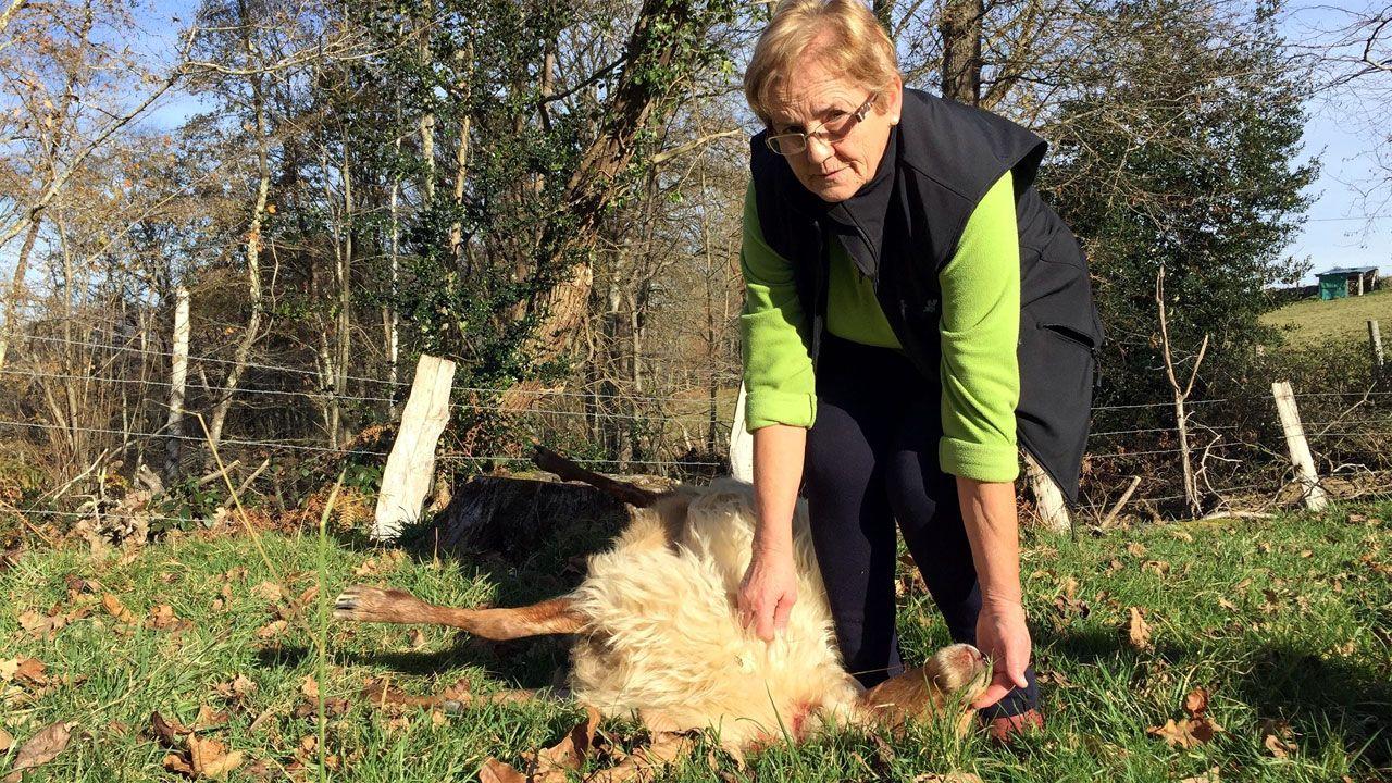 Juzgados Oviedo.Una de las ovejas muertas en el ataque al rebaño en Piloña