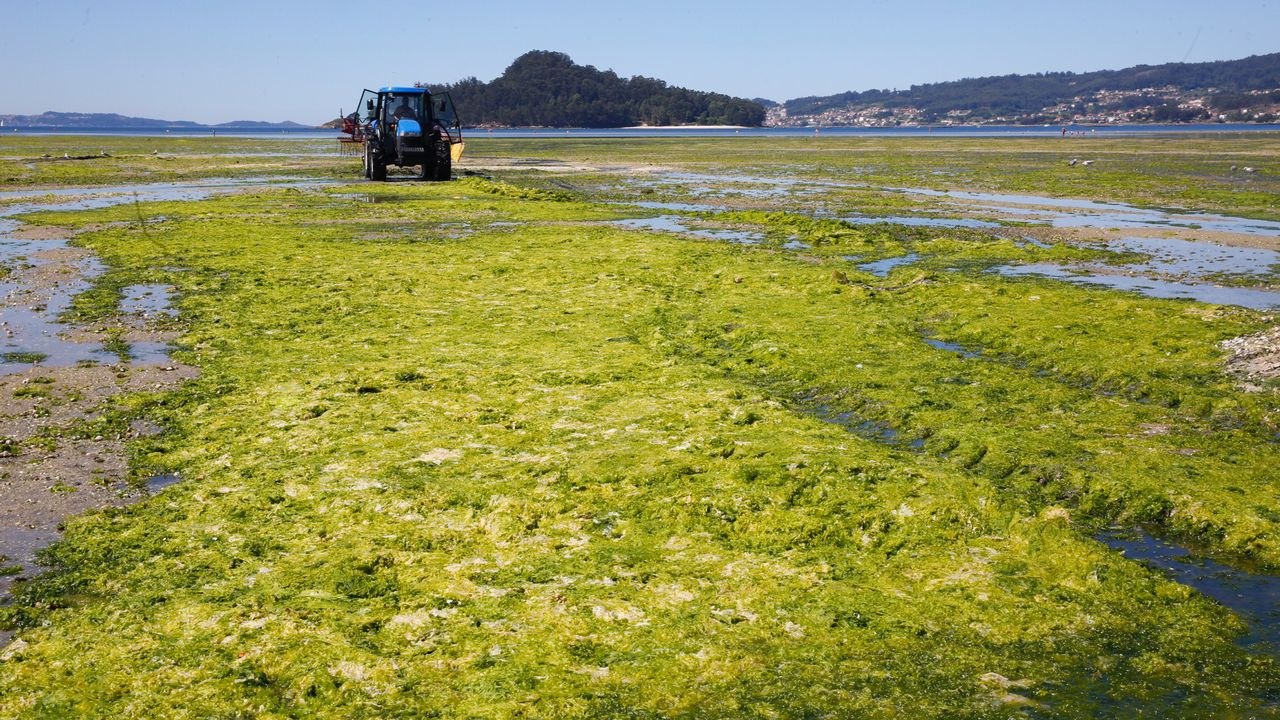 Limpieza de algas en la playa del banco marisquero de Campelo en Poio
