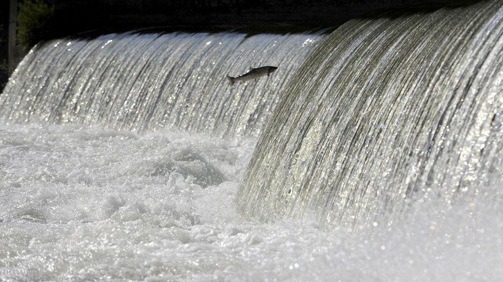 Un salmón salta un caneiro no río Ulla para remontar a corrente