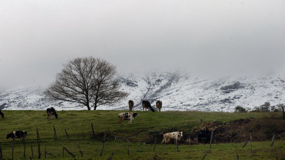 Un rebaño de vacas en un prado de Chantada, con las faldas nevadas del monte Faro al fondo