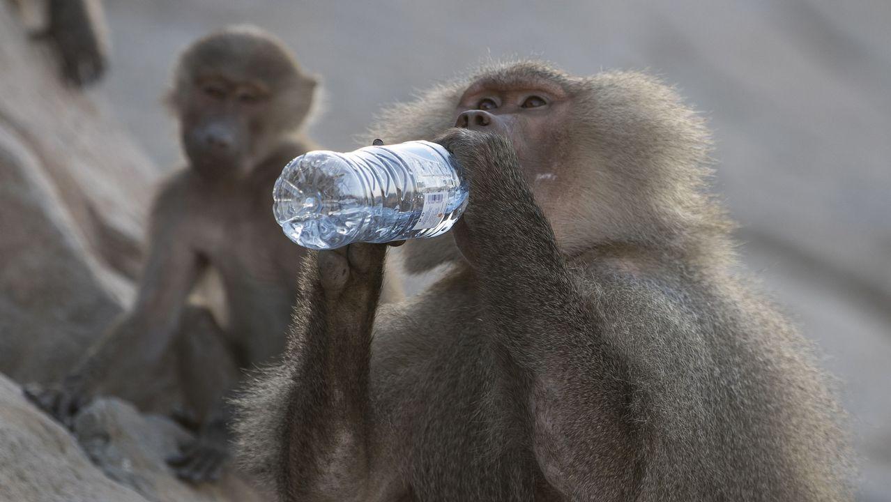 .Un mono toma agua de una botella mientras peregrinos Hajj musulmanes suben al Jabal al-Nou para visitar la cueva Hira durante la peregrinación anual al Hajj en La Meca
