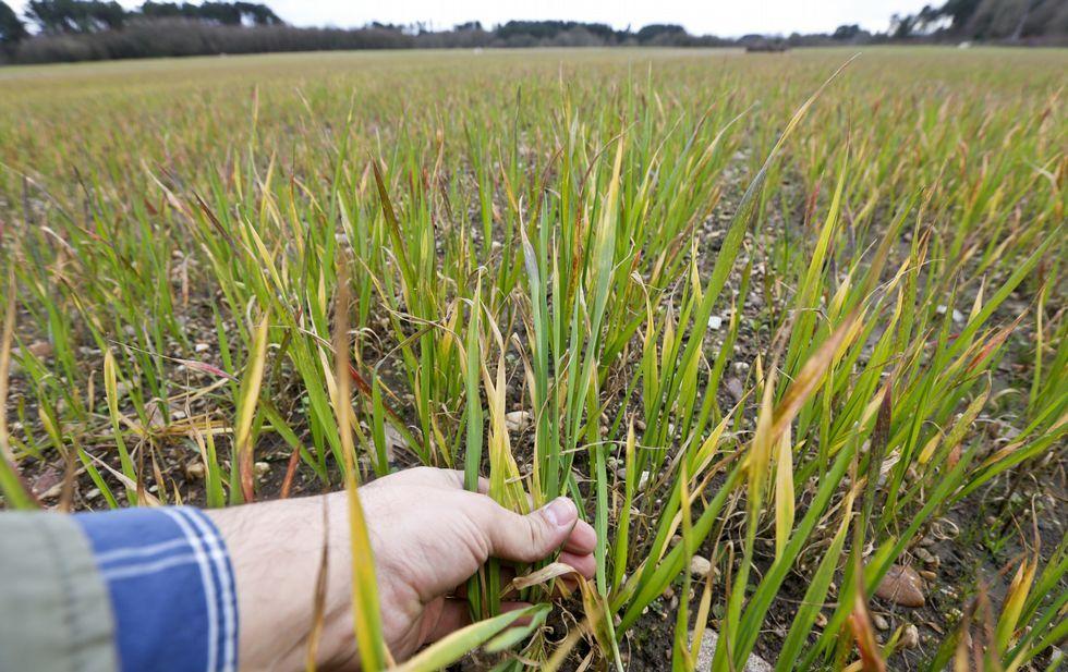 Un accidente colapsa la A-6 en Baamonde.La planta del trigo empieza a amarillear, hasta que finalmente se seca.