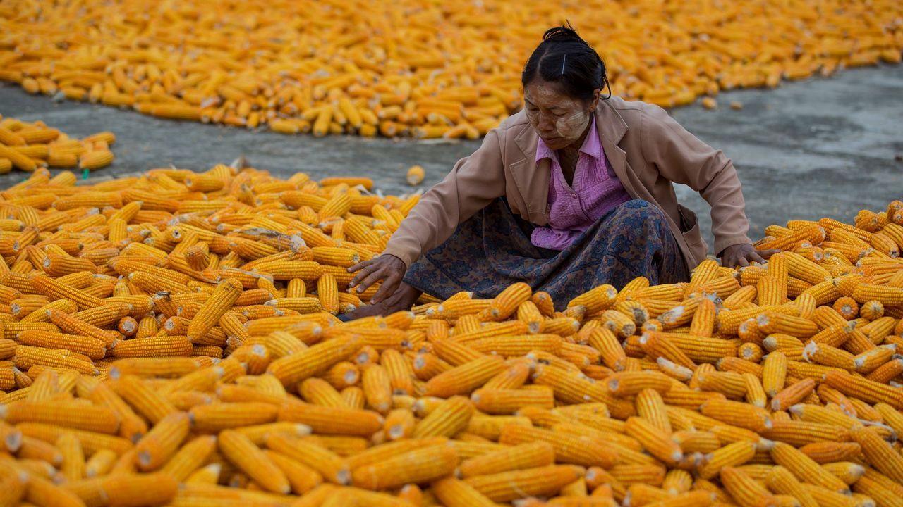 Una trabajadora de Birmania prepara maíz para secar en un campo durante la cosecha