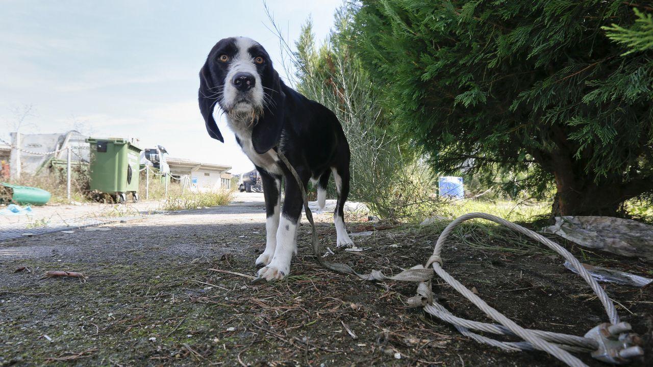 El Concello de Palas de Rei, a falta de un convenio con una protectora, ata a los perros abandonados en el mercado ganadero