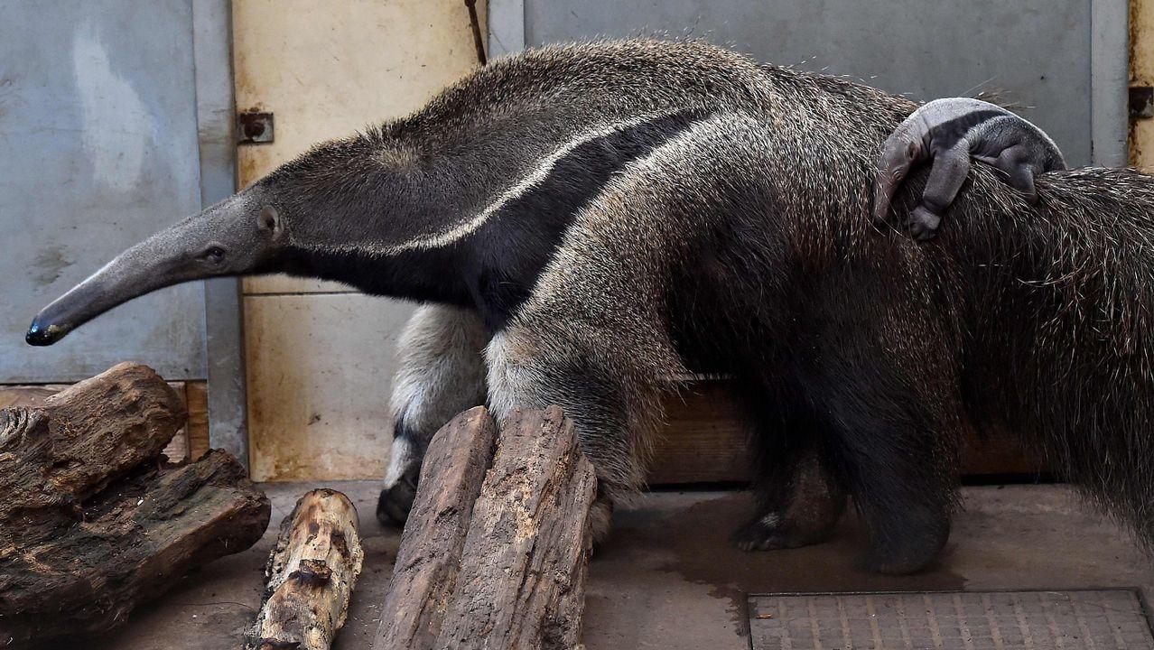 Un bebé oso hormiguero, en un zoo francés