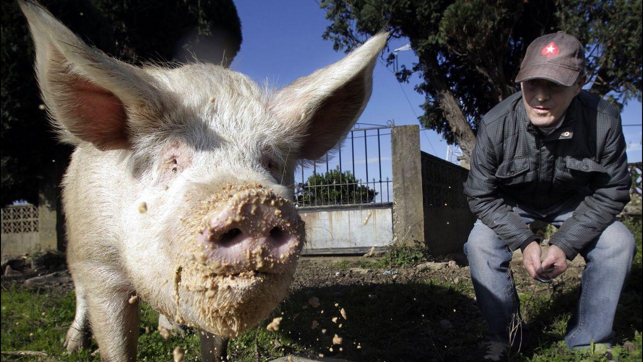 Adiós a Quinín, el cerdo más famoso y longevo de Galicia.