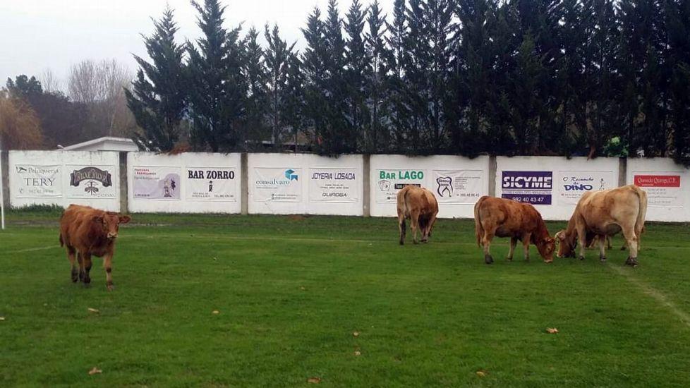 Paisajes otoñales en las montañas de O Courel y Quiroga.Las vacas se colaron al campo por un lateral que tiene el muro de cierre derribado
