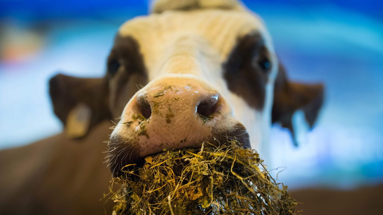 Manifestación contra el impuesto de sucesiones.Una vaca se alimenta durante el Salón Internacional de la Agricultura que se celebra en París