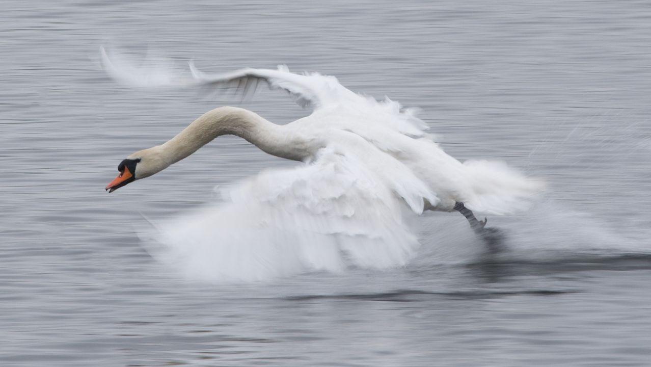 .Un cisne vuela sobre un lago de Dresden, en Alemania