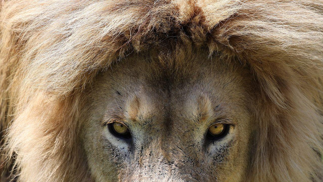 El león rescatado Saeed, Sudáfrica