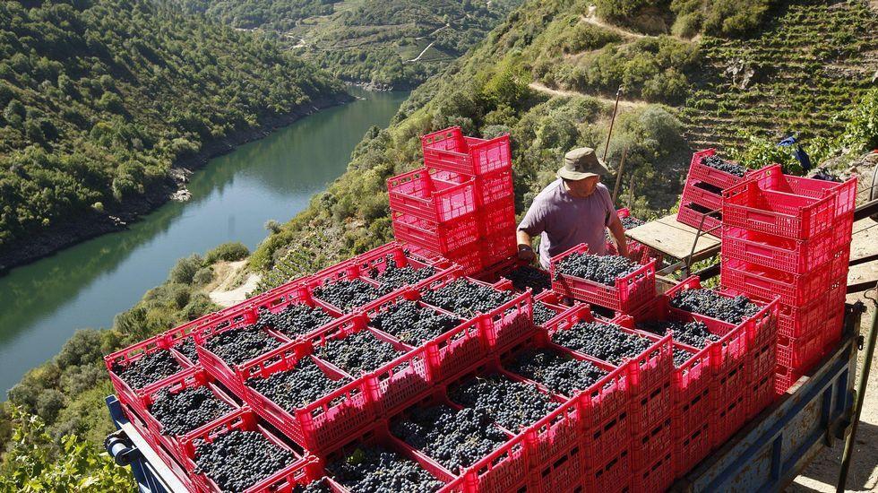 Un año normal... Las once hectáreas de viñedo de Régoa tienen cupo para producir 90.000 kilos de uva tinta, aunque la producción real suele rondar los 50.000 kilos