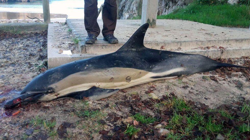 Imagen de un delfín que murió varado entre las piedras en la costa asturiana.Imagen de un delfín que murió varado entre las piedras en la costa asturiana