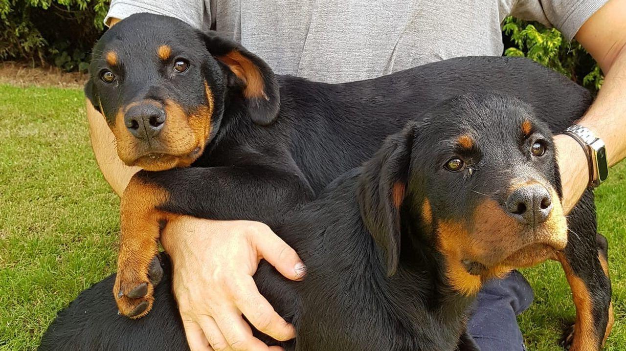 La Guardia Civil identifica a dos de los tres ladrones de los cachorros de rottweiler robados.Una joven pareja paseando con su bebé por un parque de Vigo