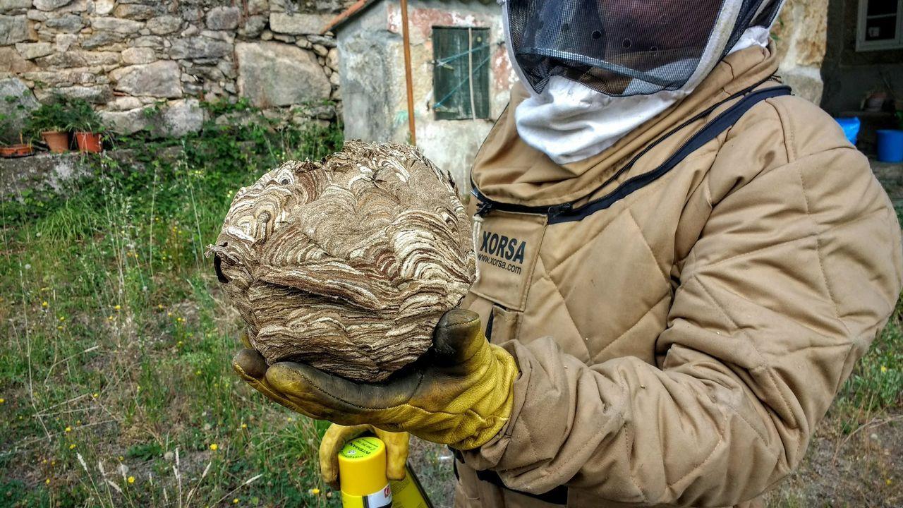 Vecino de Moraña atacado por avispas velutinas
