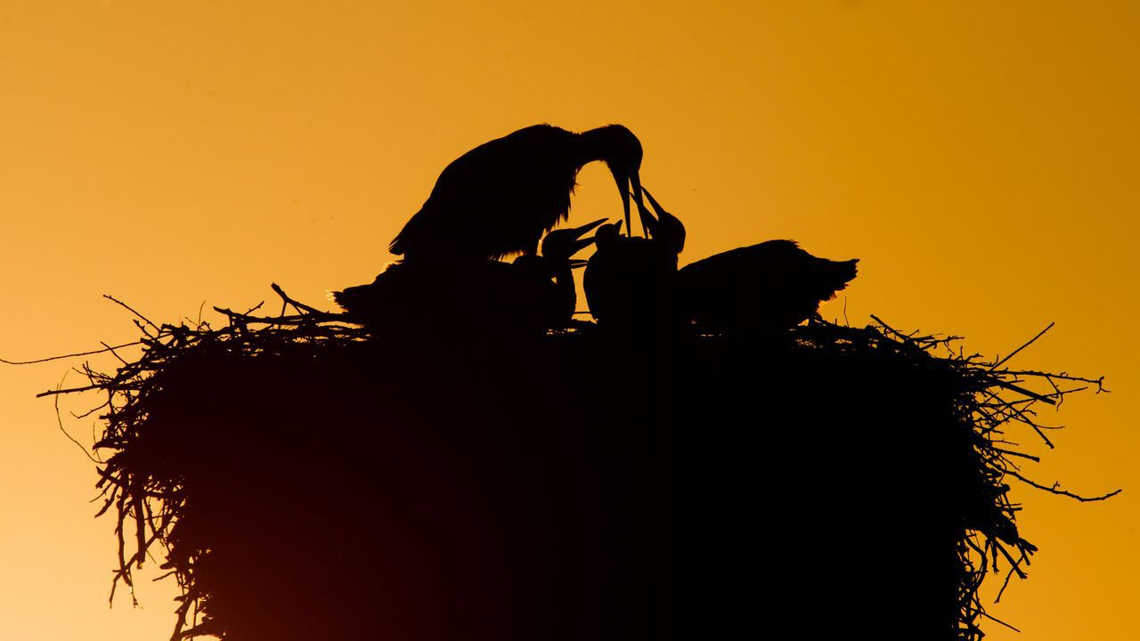 .Una cigüeña alimenta a sus crías en Laatzen, cerca de Hannover (Alemania)