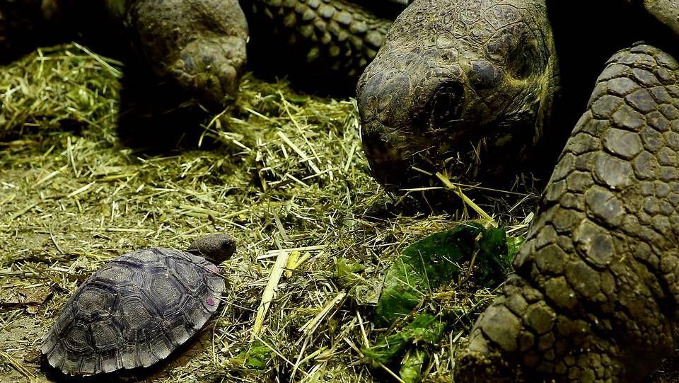 Una joven tortuga gigante de Galapagos en el zoo de Zurich