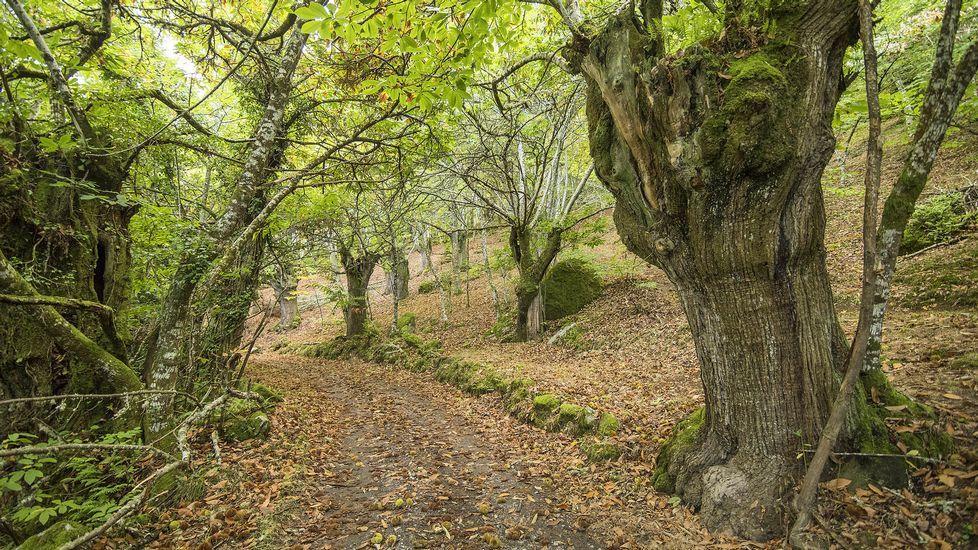 Punto de partida de la ruta de Santa María de Pesqueiras.Parte de la ruta discurre enrte castaños y robles