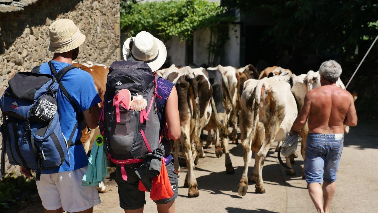 Peregrinos y vacas conviven en el Camino en Ligonde, Monterroso