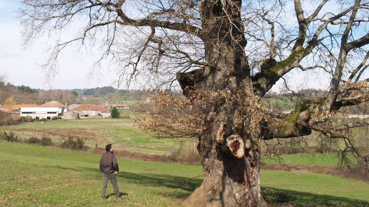 Suelta de un ratonero en la comunidad De Montes de Baroña.O carballo senlleiro de Pousada de Mariz amosa en inverno o xeito libre e sinuoso de medrar das súas pólas