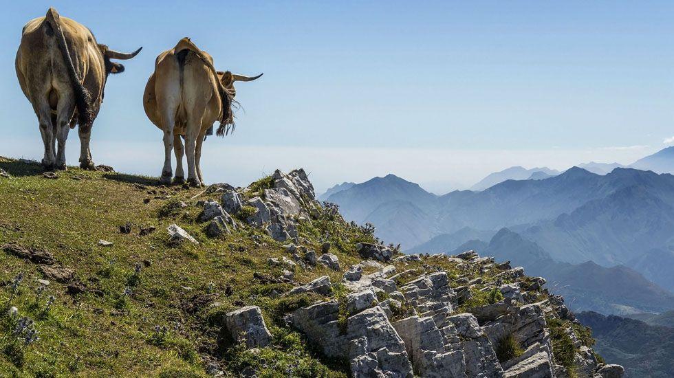Vaca y toro en Pienzu