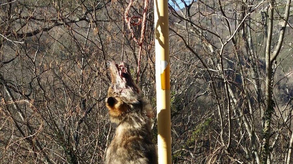 Lobo colgado en Teverga