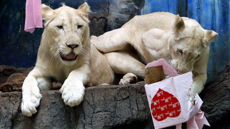 Un león del zoo de Chiang Mai abre su regalo de San Valentín