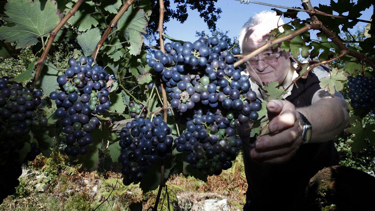 Vendimia en los viñedos de Antonio Saborido