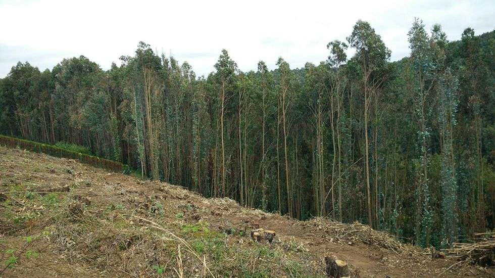 Eucaliptos talados recientemente en Castrillón