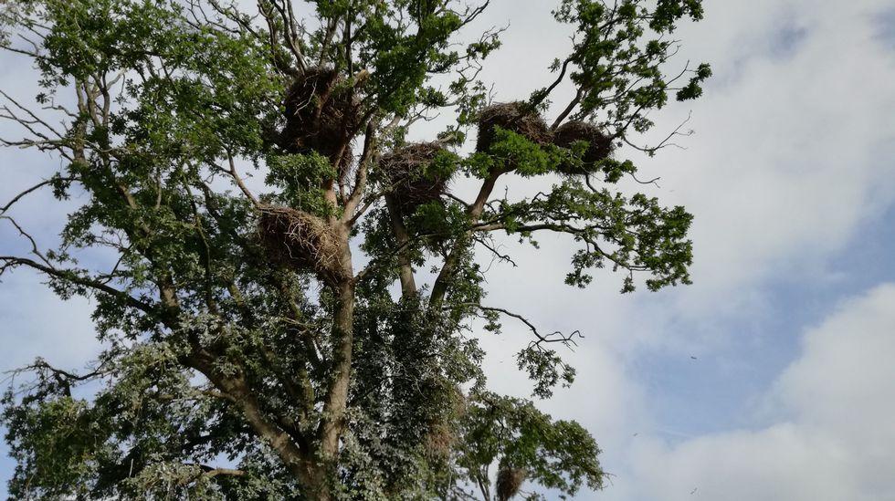 Excepcional densidad de nidos de cigüeñas en Terra Chá
