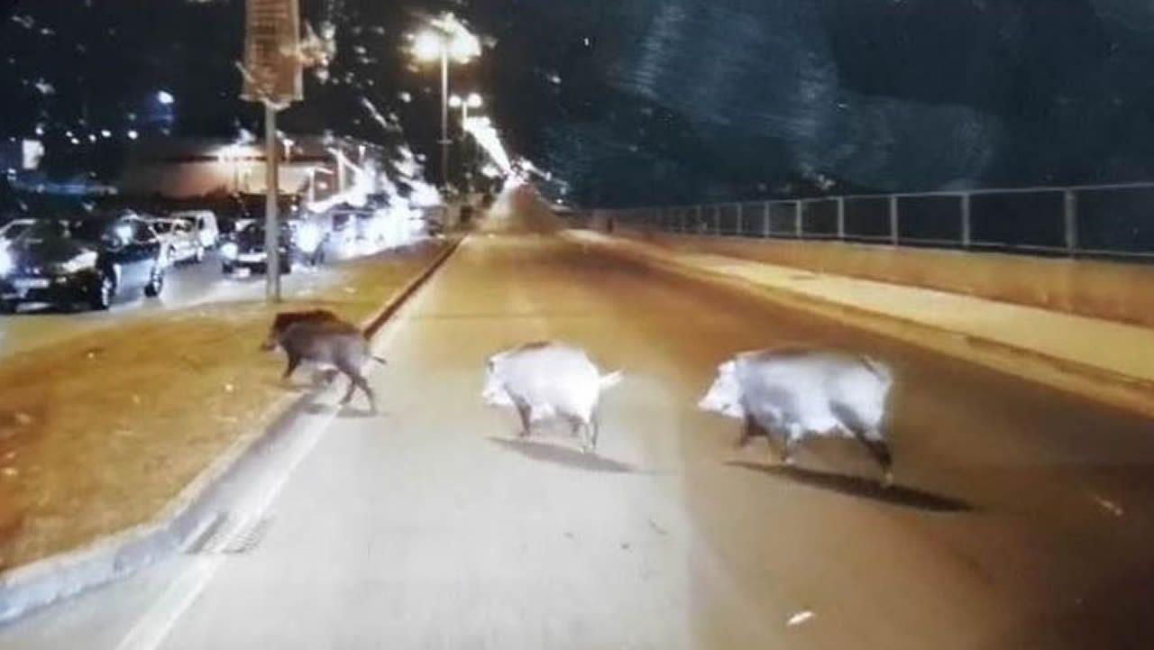 El jabalí campa de nuevo a sus anchas por Lugo.Diego y Cristina, en el corredor de Monforte, donde sufrieron un grave accidente en el año 2010