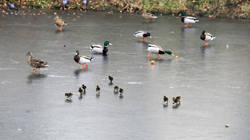 .Las crías de ánade real, de pocos días de edad, se desplazan por el cauce congelado del Cabe