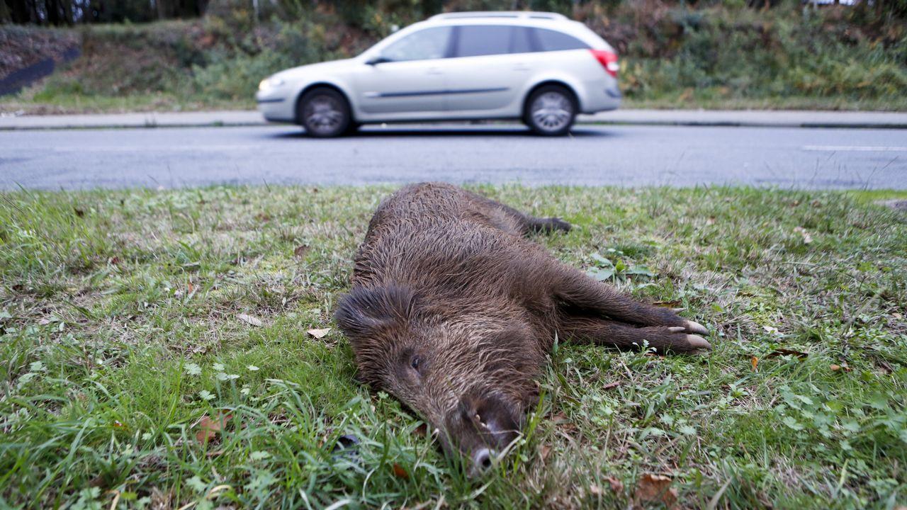 Los jabalíes causan tres de cada cuatro accidentes de tráfico con animales