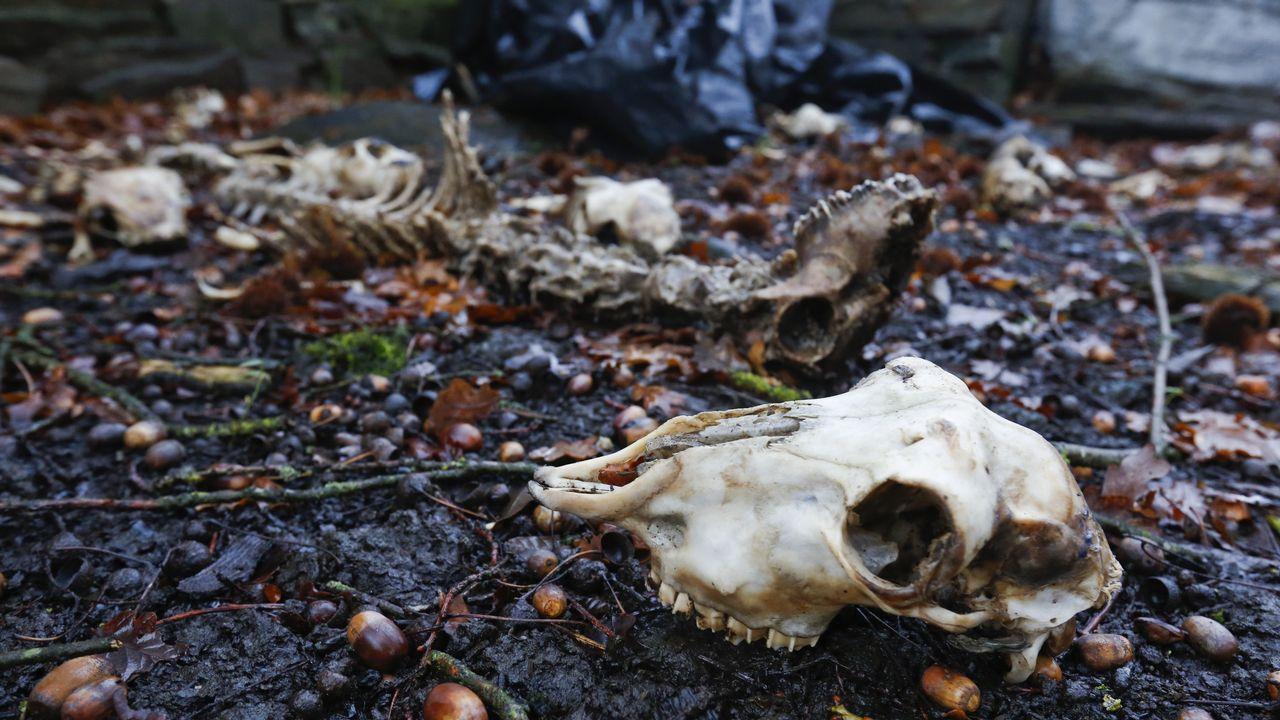 El Seprona investiga la muerte de decenas de ovejas abandonadas en Estraxiz.