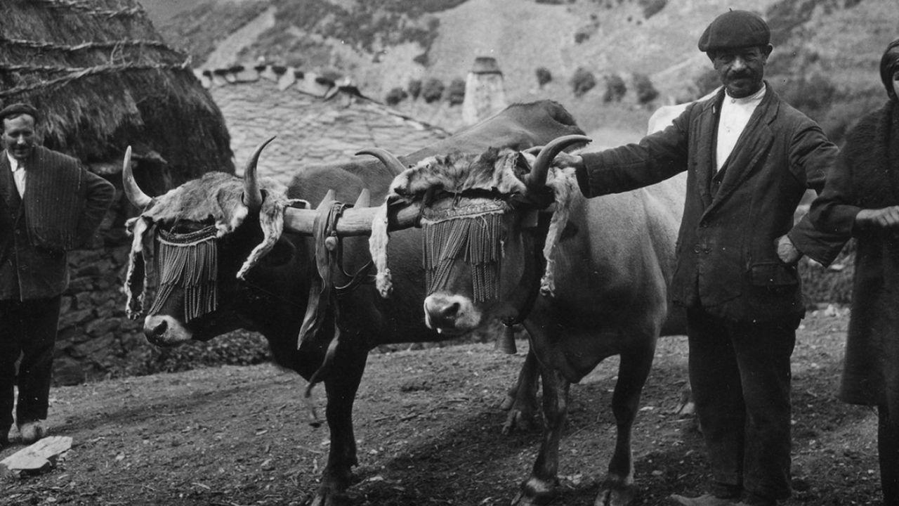 VOX pone la derogación de las ayudas contra la violencia de género como condición al pacto en Andalucía.Pareja de vacas xuncida en Brañas de Arriba (Cangas del Narcea), 1927