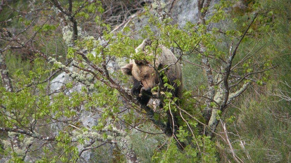 El ciclo de charlas fue presentado en la sede de la Diputación por representantes del organismo provincial y de la Asociación de Executivas de Galicia.Un oso pardo salvaje del área cantábrica alimentándose de brotes de robles en el monte