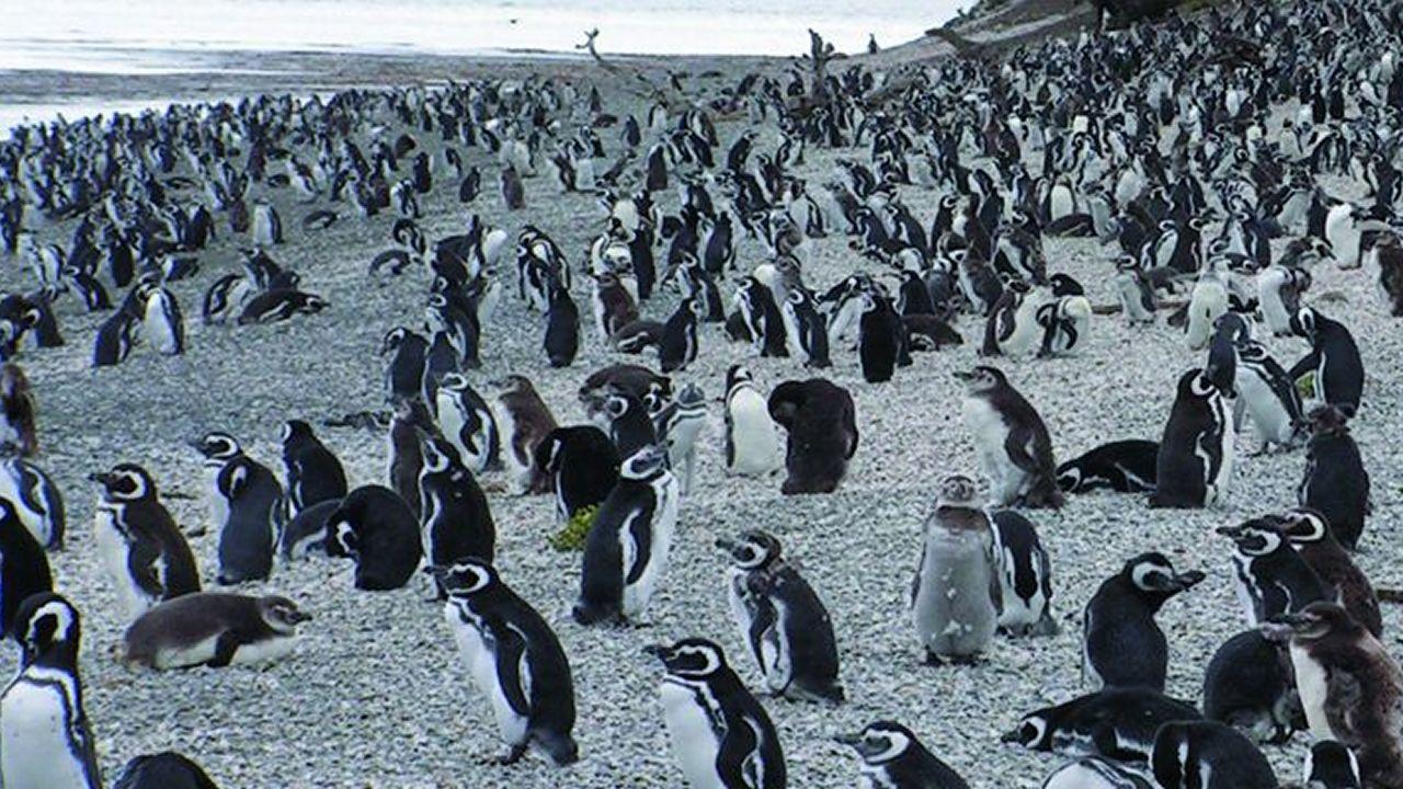 .Los investigadores de la Universidad de Santiago analizaron más de 3.000 colonias de aves, entre ellas las de los pingüinos de Ushuaia