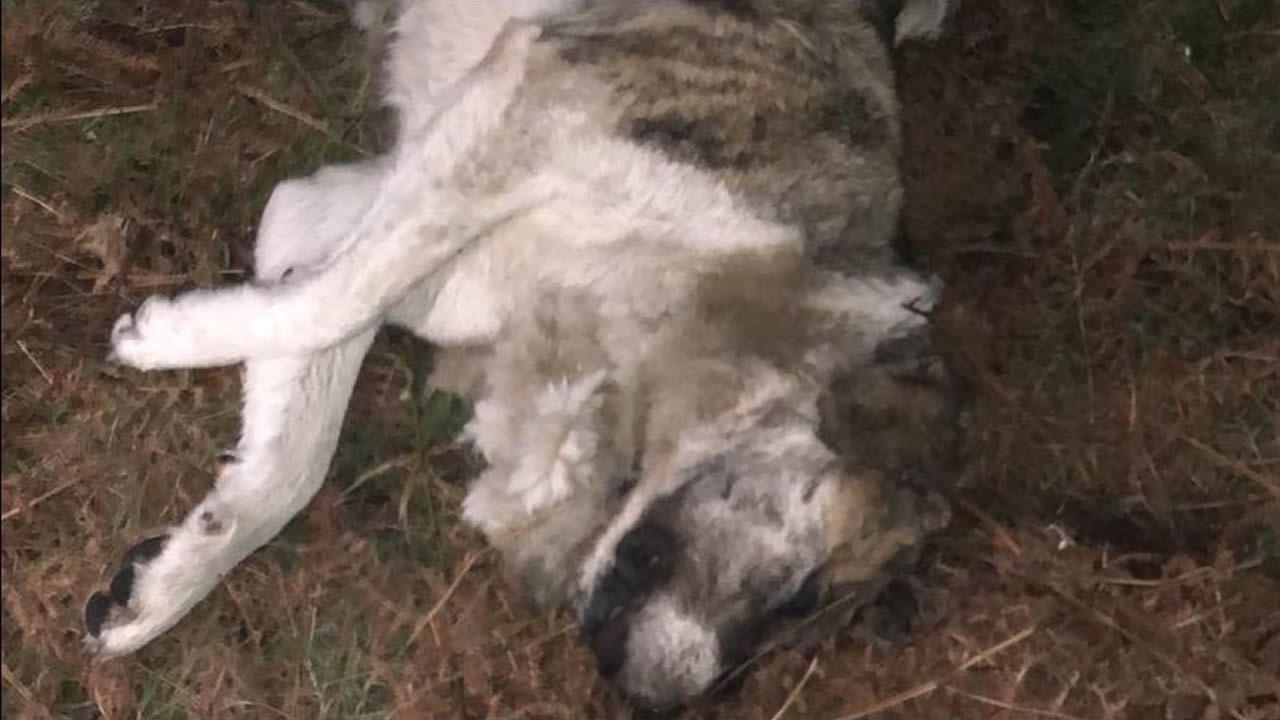 Matan y abandonan a la perra que cuidaba todo un barrio de Baiona