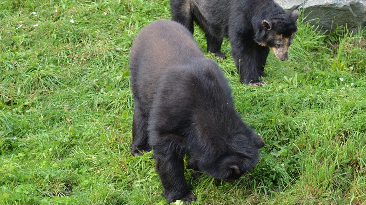 Dos ejemplares de oso andino