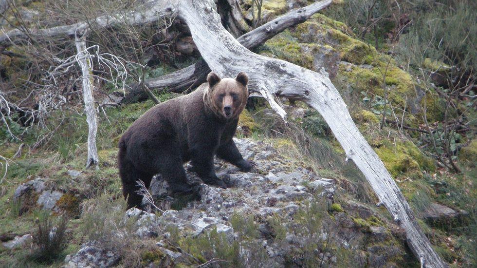 Tráfico muy lento en la A-6 por nieve en Pedrafita.Un oso pardo en Asturias