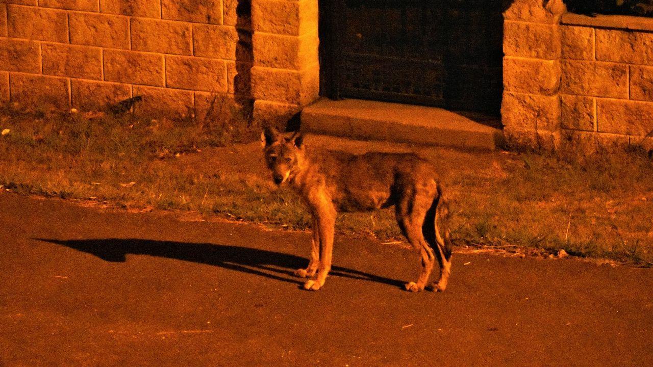 Un joven lobo se pasea cada noche por Laxe